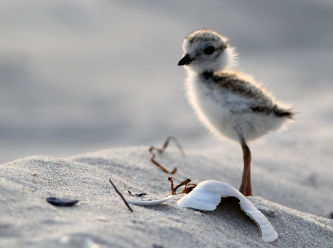 https://exit63.wordpress.com/2013/07/17/overdoing-it-with-the-piping-plover-baby-backlit-beauties/