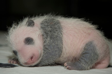 4-bei-bei-panda_LiveScience