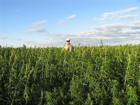20100420-industrial-hemp-field